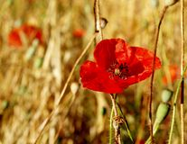 Czerwoni maczki w suchym pszenicznym polu Obraz Royalty Free