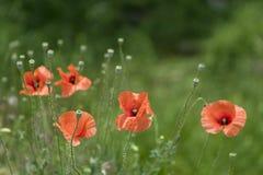 Czerwoni maczki w zielenieją pole Obraz Stock