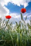 Czerwoni maczki zamykają up na burzowym skyes tle Fotografia Royalty Free