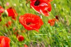 Czerwoni makowego ziarna kwiaty Obraz Royalty Free