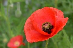Czerwoni Makowi kwiatów płatki 02 Zdjęcia Stock