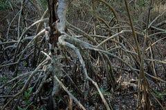 Czerwoni mangrowe korzenie w błotach Zdjęcie Stock