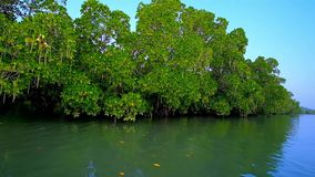 Czerwoni mangrowe na Kangy rzece, Chaung Tha, Myanmar zbiory wideo