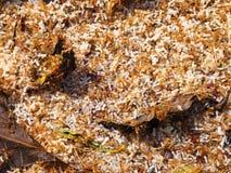 Czerwoni mrówek jajka obrazy stock