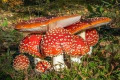 Czerwoni muchomory w drewnach zdjęcie stock