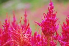 Czerwoni wełna kwiaty, celozja lub Zdjęcie Royalty Free