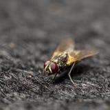 Czerwoni oczy komarnica Fotografia Royalty Free