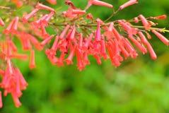 Czerwoni okwitnięcia petardy roślina Zdjęcia Royalty Free