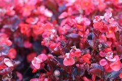 Czerwoni ornamentacyjni kwiaty blisko fontann Krajowy pałac kultura w stolicie Sofia Fotografia Royalty Free