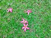 Czerwoni płatki Plumeria kwitnienie spadają puszek na zielonym dywanowej trawy gazonu jarda tle, ten fragrant kwiat znają jako Św obraz royalty free