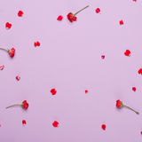 Czerwoni płatki róże na purpurowym tle Zdjęcia Royalty Free