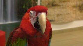 Czerwoni papuzi arony