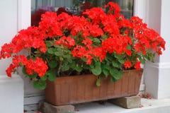 Czerwoni Pelargoniums w Nadokiennym pudełku Zdjęcia Royalty Free
