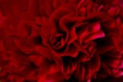czerwoni peonia płatki Obraz Stock