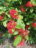 czerwoni piękni kwiaty obraz royalty free