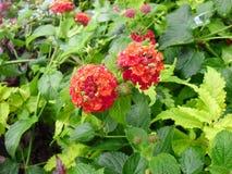 czerwoni piękni kwiaty Zdjęcia Stock