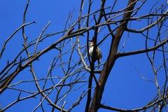 Czerwoni policzki na suchym drzewie zdjęcie stock