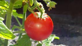 Czerwoni pomidory w ogródzie Obrazy Royalty Free