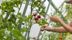 Czerwoni pomidory w szklarni, kobieta tnąca z jej żniwa zbiory