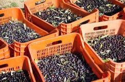 Czerwoni pudełka wypełniali z oliwkami na ziemi Zdjęcie Royalty Free