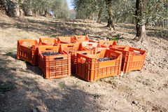 Czerwoni pudełka wypełniali z oliwkami na ziemi Fotografia Stock