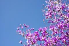 Czerwoni purpurowi azalii okwitnięcia Zdjęcie Royalty Free