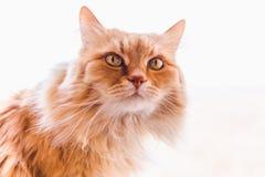 Czerwoni puszyści kotów spojrzenia z interesem Fotografia Royalty Free