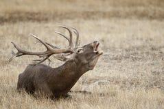 Czerwoni rogacze, Deers, Cervus elaphus - jeleń, Czerwonych rogaczy huczenie obraz royalty free