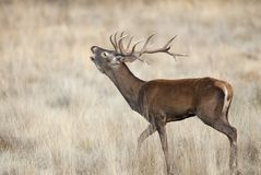 Czerwoni rogacze, Deers, Cervus elaphus, jeleń, Czerwonych rogaczy huczenie obrazy royalty free
