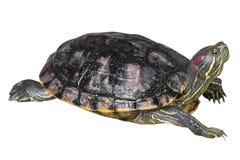 Czerwoni słyszący suwaka żółwia Trachemys scripta elegans skradają się jeden ` s głowę na białym odosobnionym tle i podnoszą Bocz Fotografia Stock