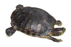 Czerwoni słyszący suwaka żółwia Trachemys scripta elegans skradają się jeden ` s głowę na białym odosobnionym tle i podnoszą Odgó Zdjęcia Stock