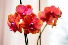 Czerwoni storczykowi kwiaty, urodzinowy prezent lub inny holiday_, Fotografia Royalty Free