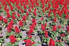 Czerwoni szałwia kwiaty Fotografia Royalty Free