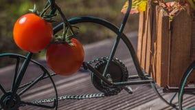 Czerwoni tomatoos obrazy royalty free