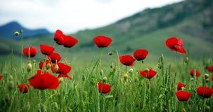 czerwoni trawa maczki zdjęcie stock