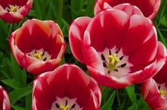 Czerwoni tulipany Zdjęcia Stock
