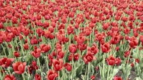 Czerwoni tulipany zdjęcie wideo