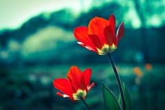 Czerwoni tulipany Fotografia Stock