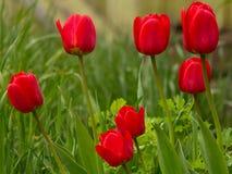 Czerwoni tulipany Zdjęcia Royalty Free