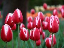 Czerwoni tulipany Obrazy Royalty Free