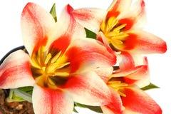 czerwoni tulipany fotografia royalty free