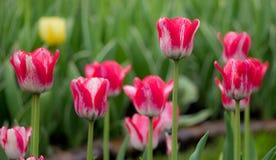 Czerwoni tulipany Obraz Stock