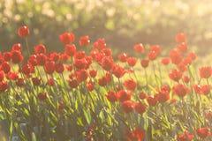 Czerwoni tulipany backlit Zdjęcie Royalty Free