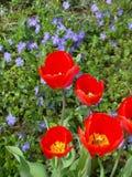 Czerwoni tulipany i błękitny barwinek Obraz Stock