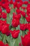Czerwoni tulipany i liście w wiośnie zdjęcia stock