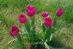 czerwoni tulipany i zielony gazon Fotografia Royalty Free