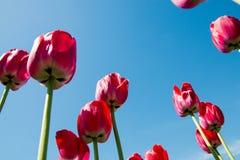 Czerwoni tulipany kierujący niebieskie niebo Obraz Stock