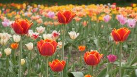 Czerwoni tulipany kwitnie zbliżenie - suwaka dolly strzał zbiory
