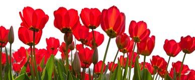 Czerwoni tulipany na białym tle. Fotografia Royalty Free