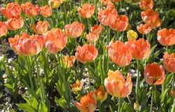 Czerwoni tulipany na flowerbed Zdjęcie Stock